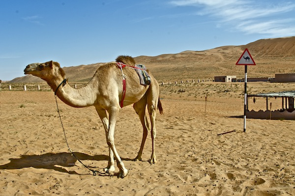 a camel in the desert in front of a camel sign