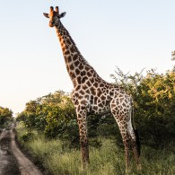 giraffe Big five south africa
