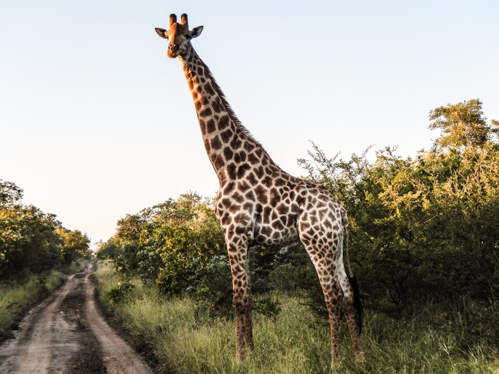 giraffe Big five south africa