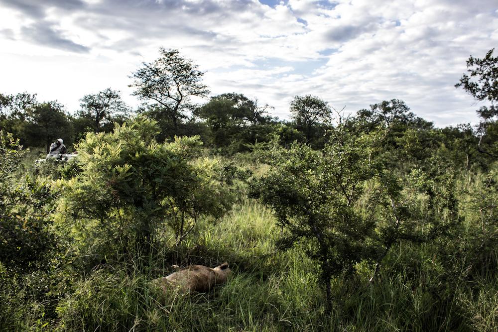 lion Big five south africa