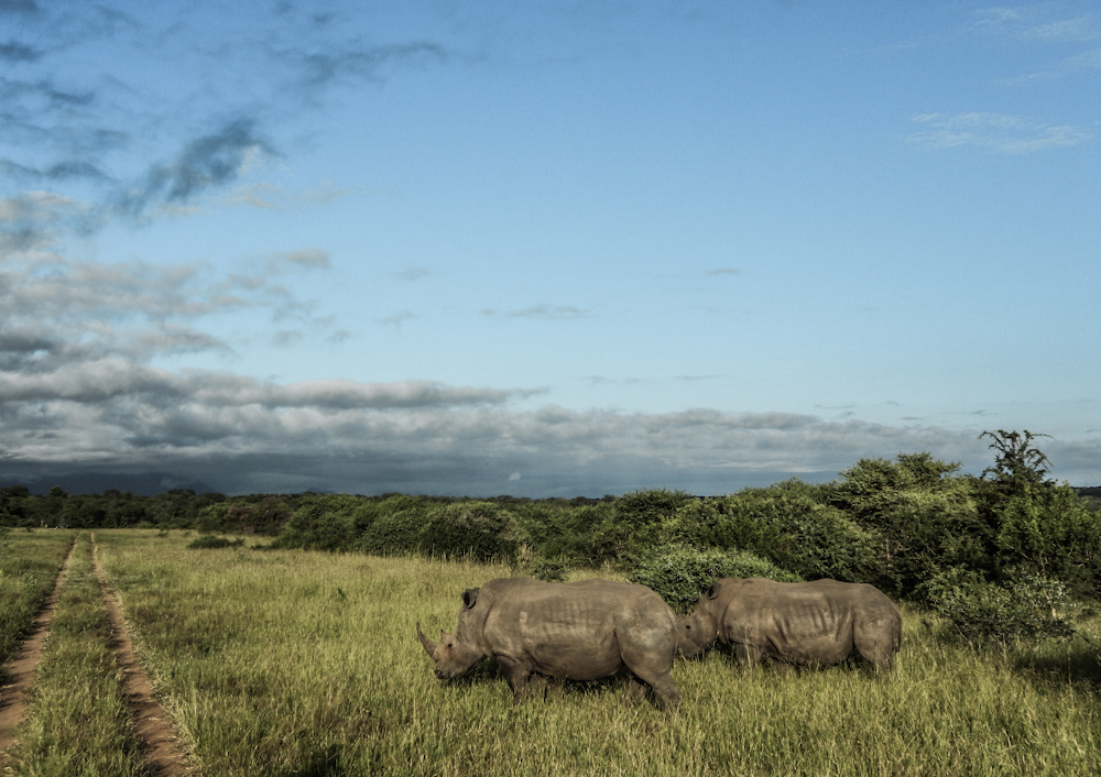 rhinos Big five south africa