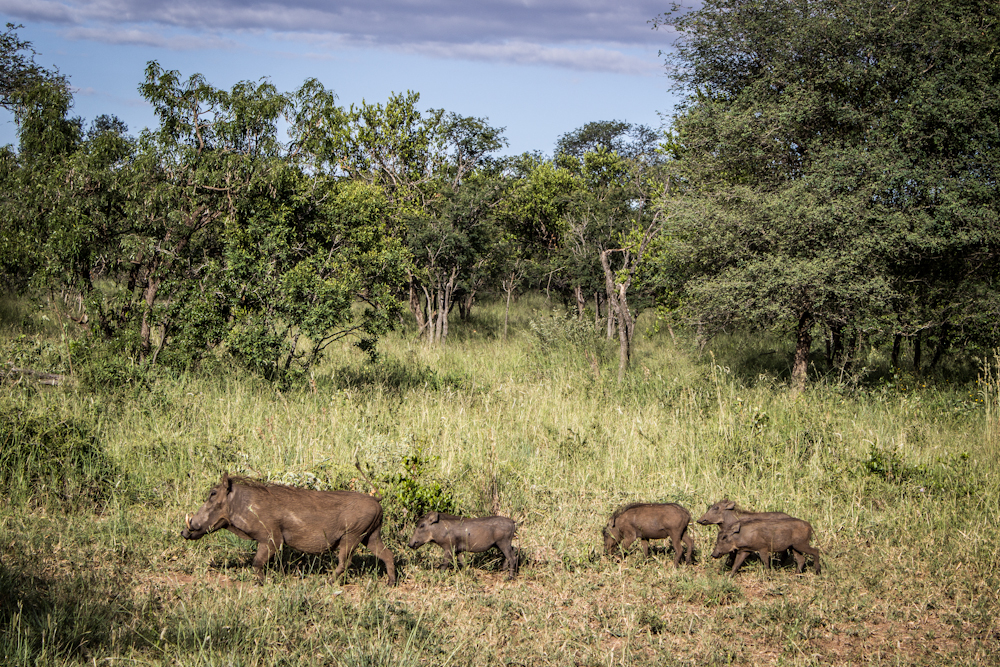 wart hog Big five south africa