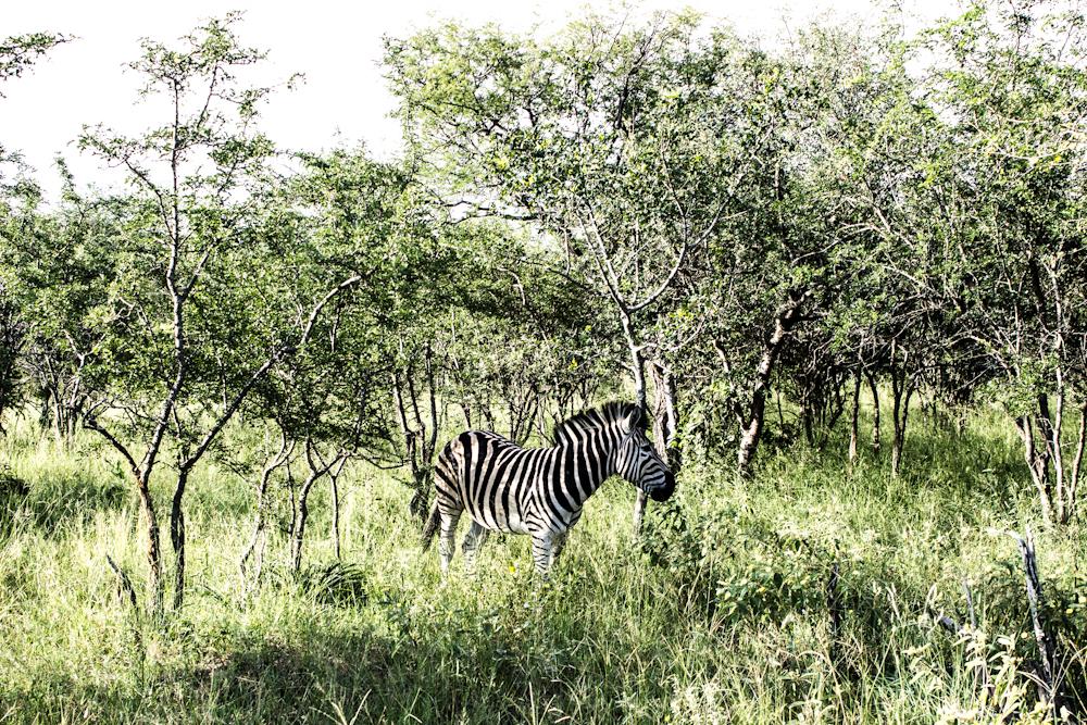 zebra Big five south africa