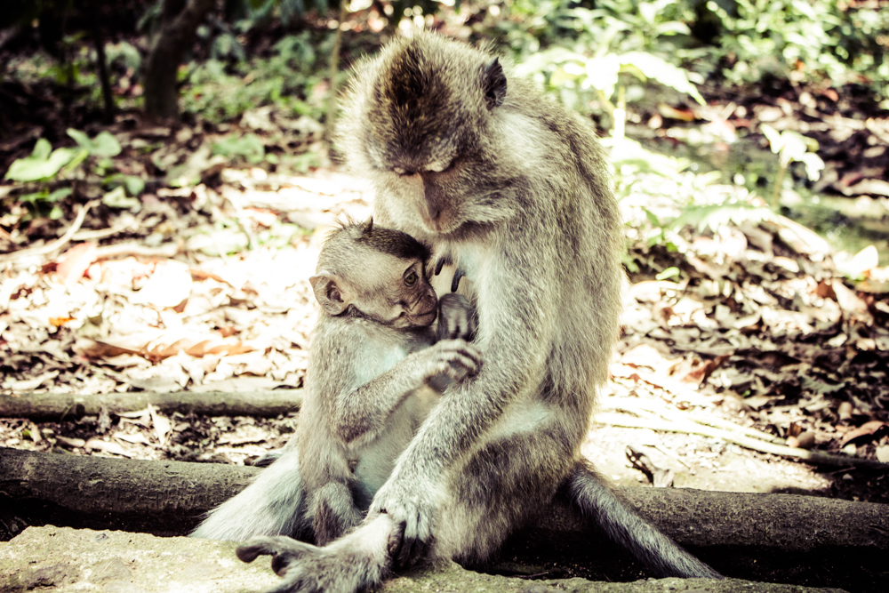 monkeys in monkey forest ubud bali