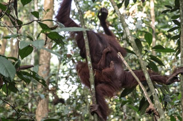 orang utans borneo-11