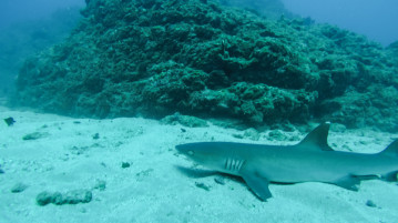 Diving with sharks Costa Rica