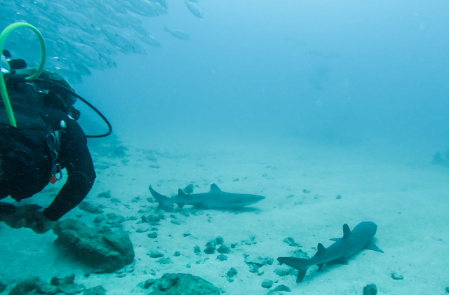 Diving with Sharks Costa Rica Cano Island Drake Bay