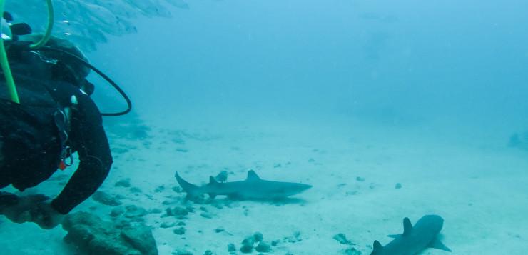 Mit Haien Tauchen In Costa Rica
