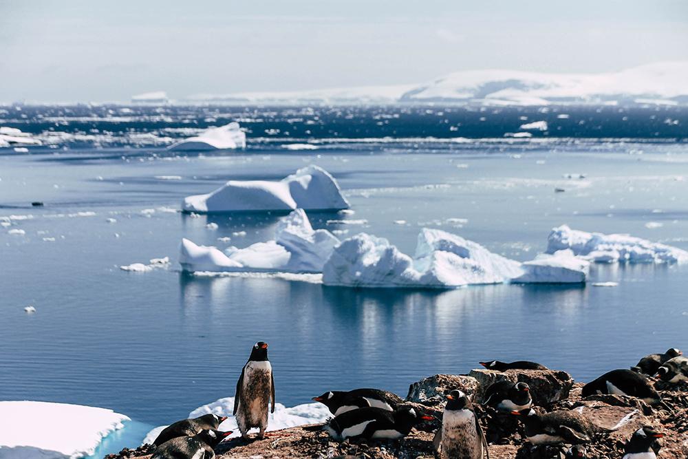 Pinguine auf Cuverville Island