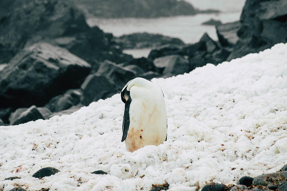 Kaiserpinguin auf Half Moon Island