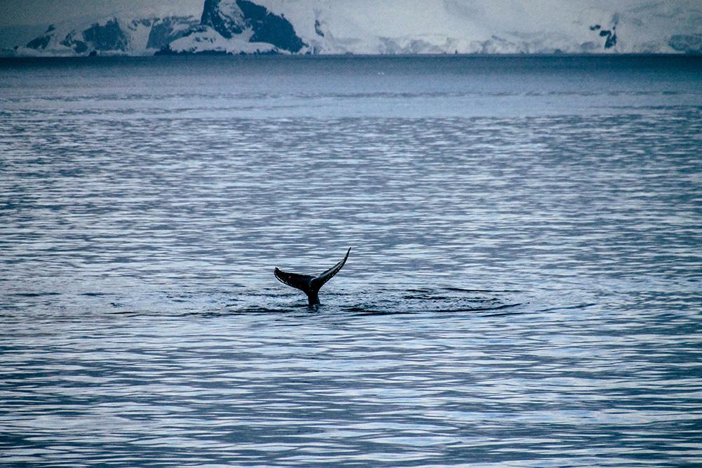 Walbeobachtung in der Antarktis