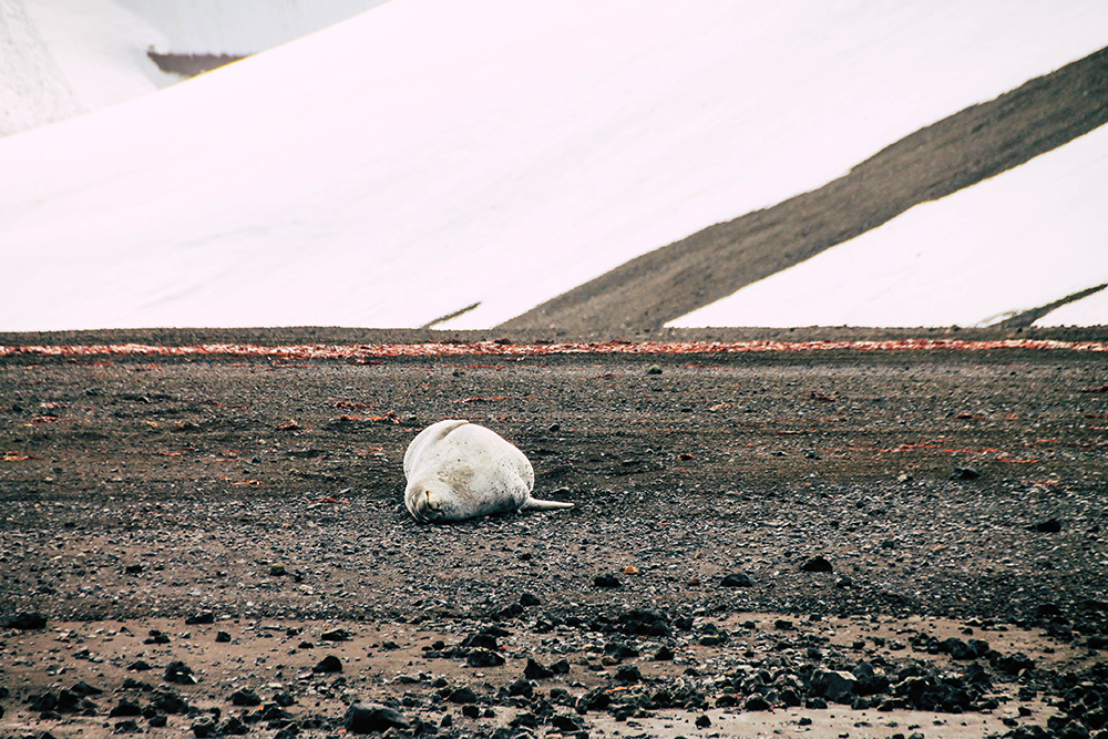 Robbe auf Deception Island