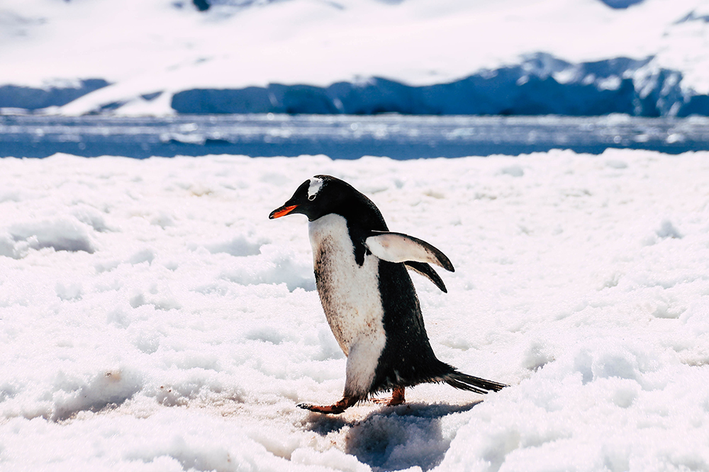 Pinguin in Cuverville Island