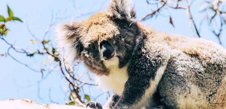Koala im Koala Conservation Centre auf Phillip Island