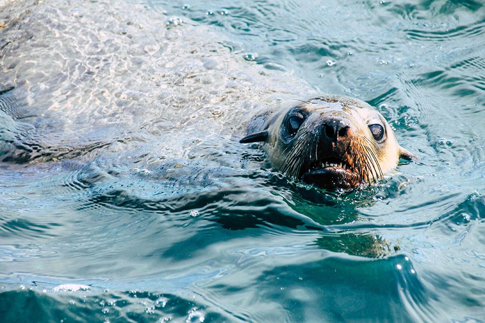 Robben auf Phillip Island